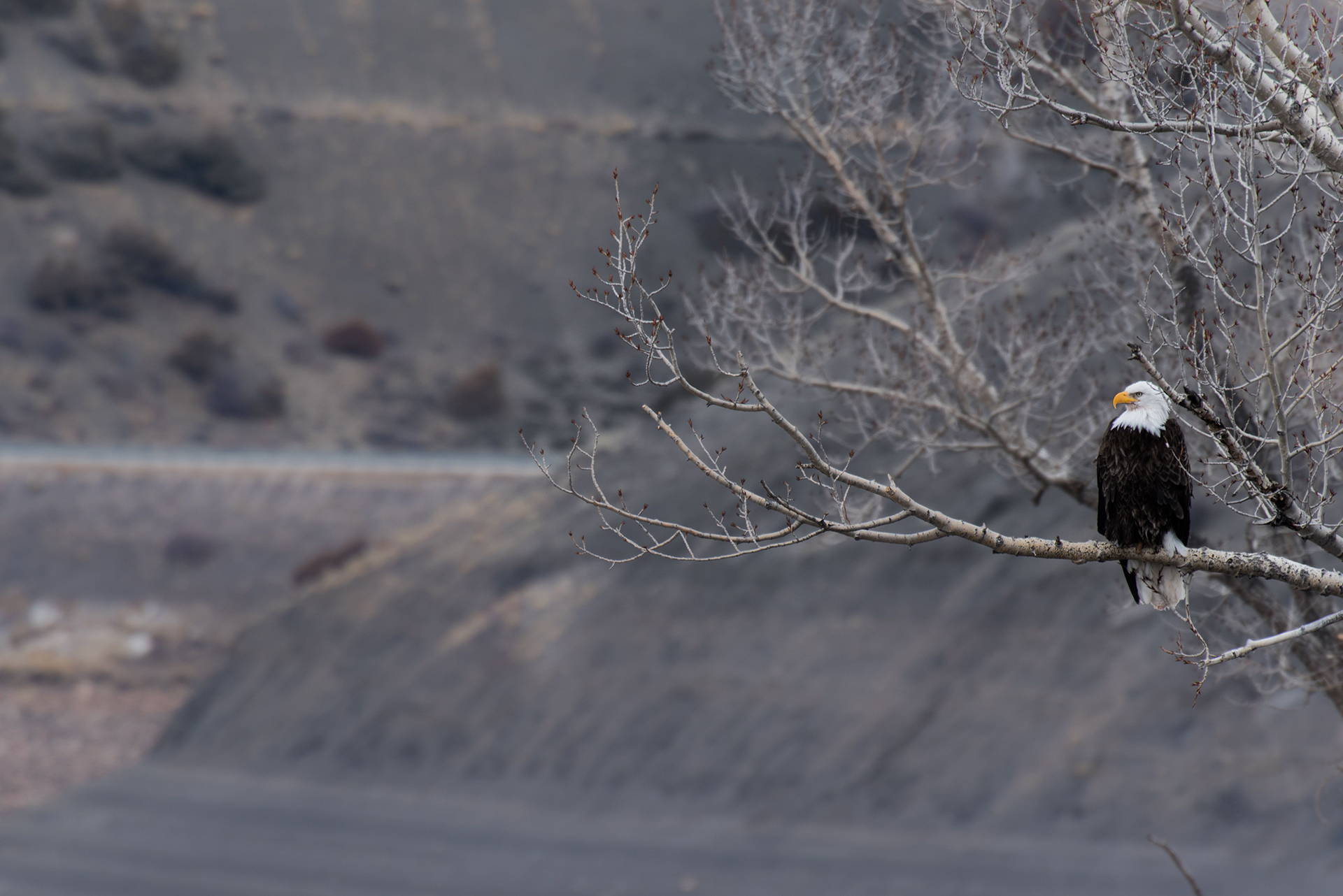 Photo of bald eagle sitting on tree branch.